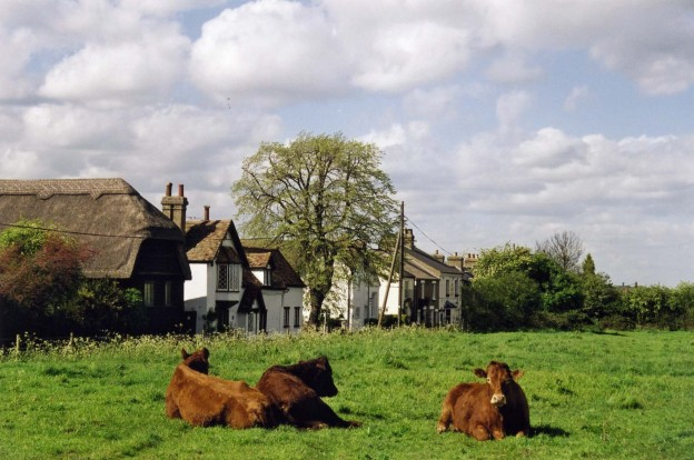 Cows in the meadows